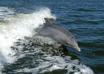 Thumb bottlenose dolphin ksc04pd0178